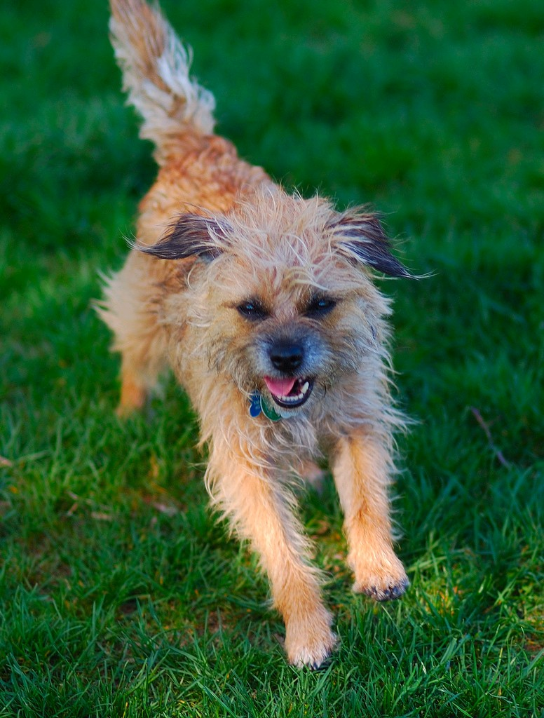 Grizzle Border Terrier