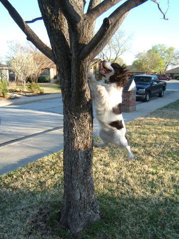 http://www.dogcastradio.com/images/EnglishSpringerSpaniel.jpg