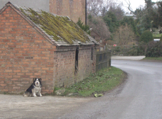 Sheepdog waiting
