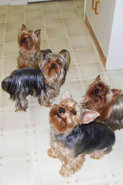 "... Please!"" - photo by Stephane Tardif : Yorkshire Terrier breed profile"