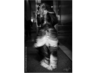 A canine supermodel. Afghan Hound - Leo, in New York City