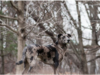 Astrid traveled to the USA to photograph some breeds. Jeter, Catahoula Leopard Dog, Brooklyn, NY