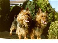 Photo by Doreen Simpkins : Australian Terrier breed profile