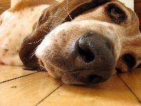 """Even Riley was bored"" by Augusta R. Toppins : Basset Hound breed profile"