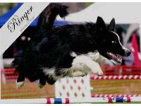 Ringer, Owner: Dave StoneRinger is a rescue from WI Border Collie Rescue. He is a flyball champion and has earned is working toward his AKC Master Agility and Master Agility Jumpers with Weaves titles. : Border Collie breed profile