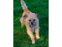 Frankie - photo by JAH : Border Terrier breed profile