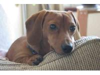 Otis, photo by Jessica Shaver 2006 : Dachshund breed profile