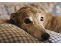 Mischa - photo by Ben Hammersley : Greyhound breed profile