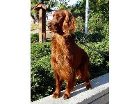 Oliver : Irish Setter breed profile