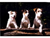 """Three Stooges"" - photo by Mark Sanders : Jack  Russell Terrier breed profile"