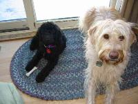 Daisy (on right) - photo by London Nelson : Labradoodle breed profile