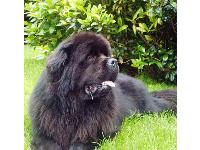 Photo by Margaret Ford, N. Ireland : Newfoundland breed profile
