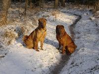 Aisha (left) and Kai (right) - photo by Deborah van Rees and Robin de Waal : Shar Pei breed profile