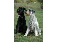Arnie (on right) - photo by Lee Miles : Standard Schnauzer breed profile
