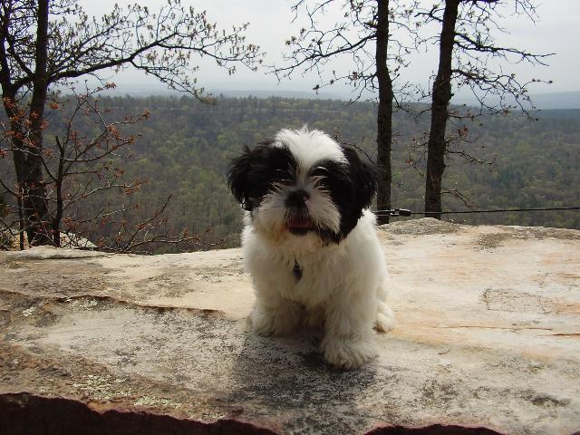 Gizmo : Shih Tzu | DogCast Radio  Gizmo : Shih Tz...