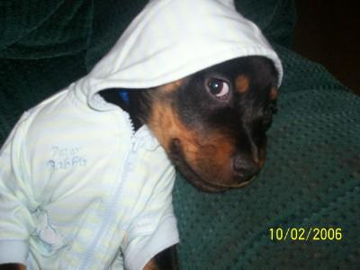 Dogs name: RamboOwners Name: AndreaEver see a rottie all dressed up