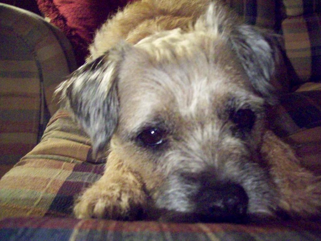 scruffy the border terrier