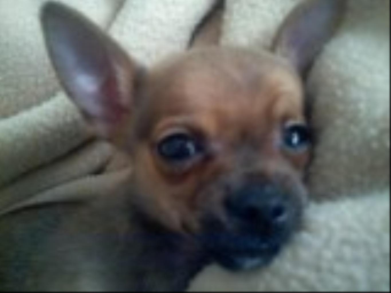 Tags: Chihuahua Chihuahua cute precious small