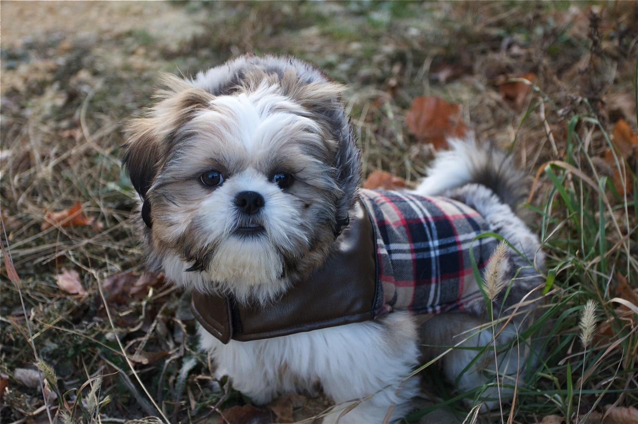 Decorative Shih Tzu breed dog