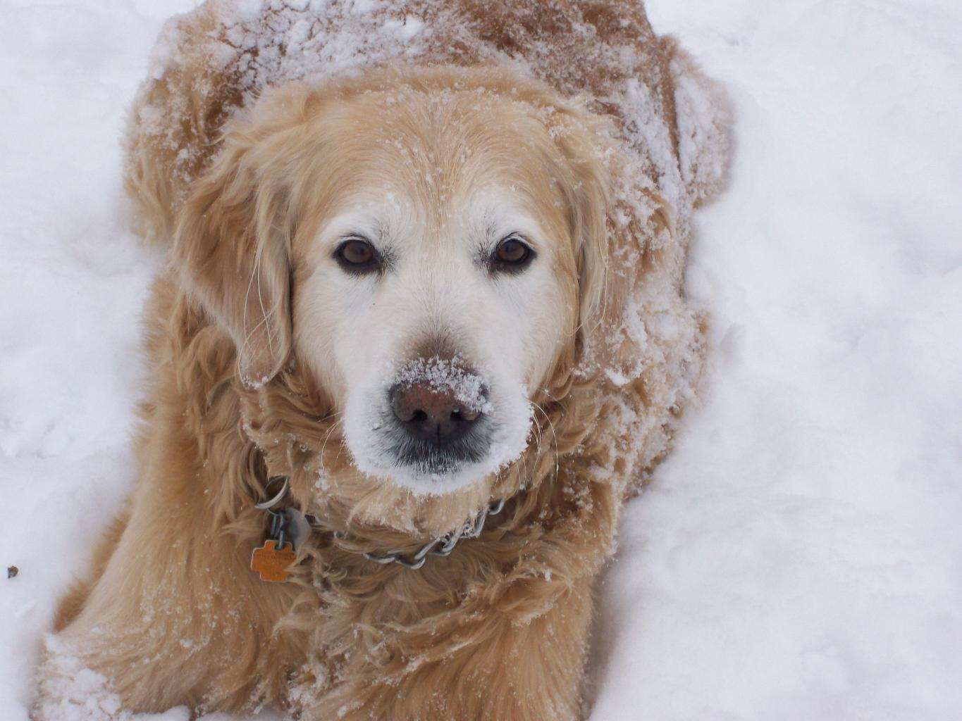 Tags: Golden Retriever Snowy Golden