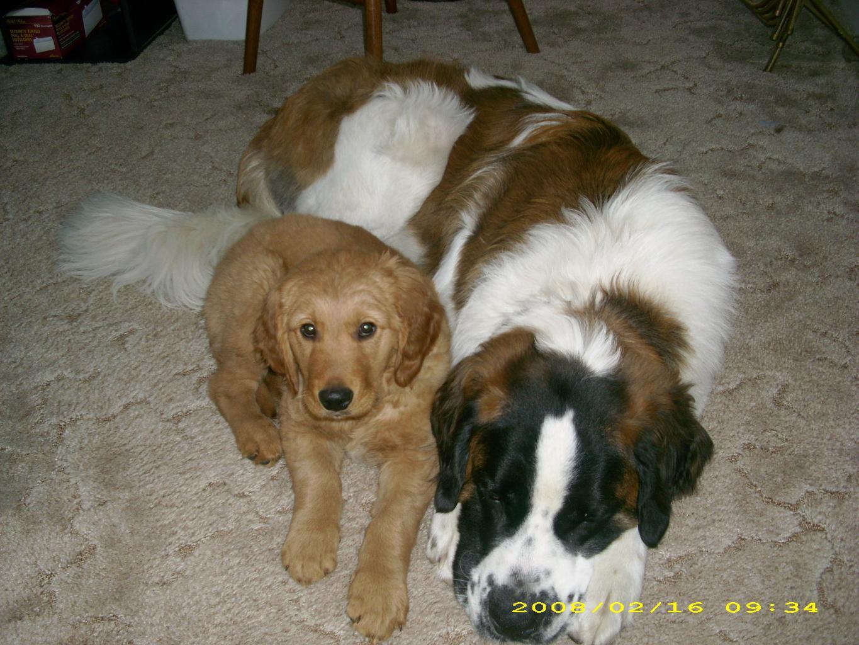 ... Tags: Best FriendscutedogsGolden RetrieverSaint BernardSaint Bernard