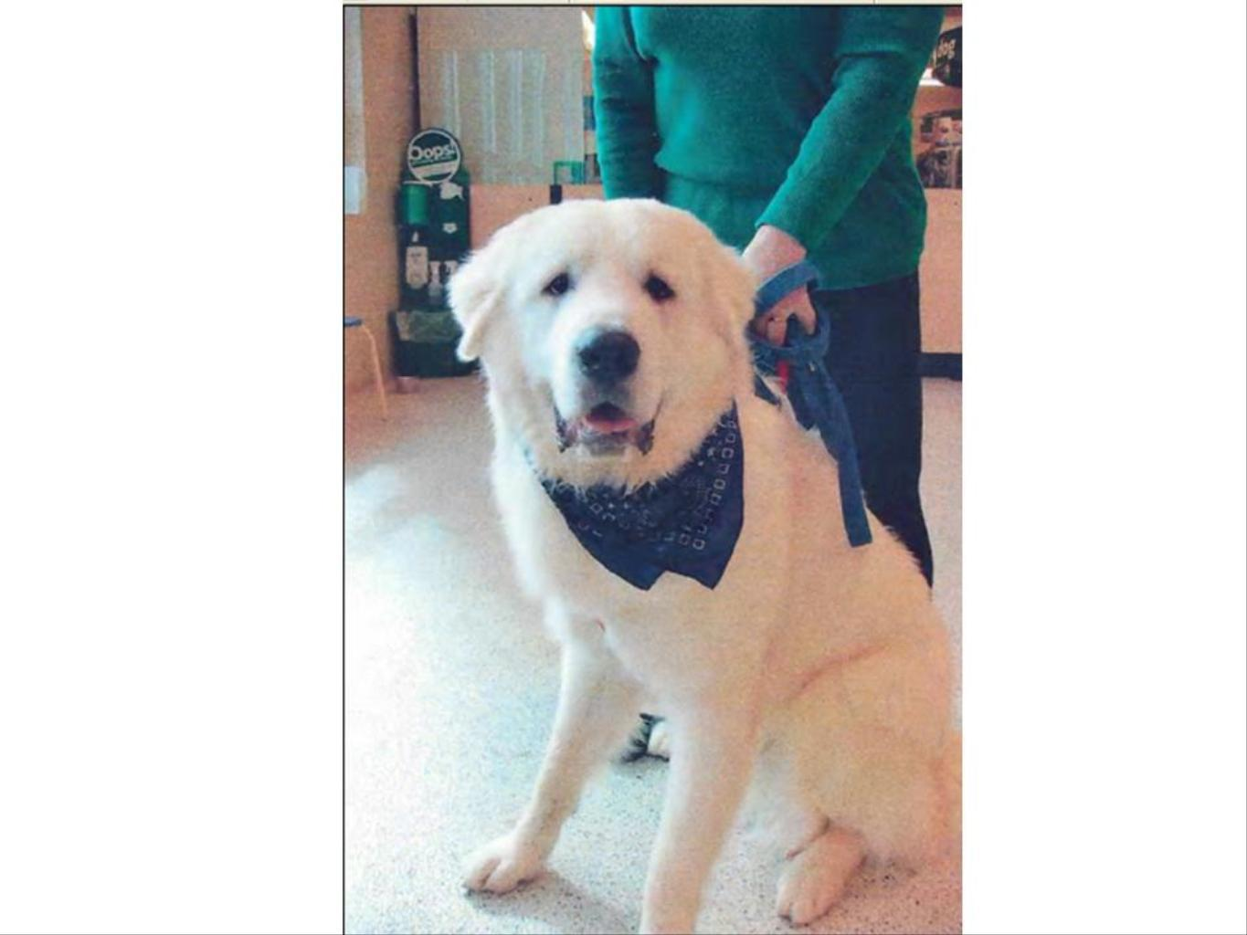 WHITE GREAT PYRENEES,