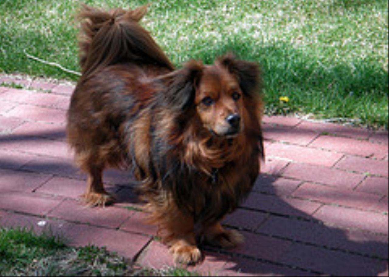 a dachshund chowchow mix   Dachshund Dog Mix