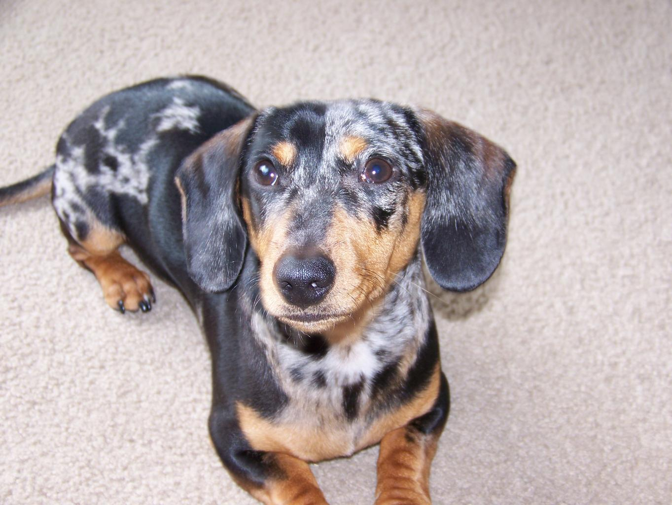 Buddy showing of   Dachshund Dog Dapple