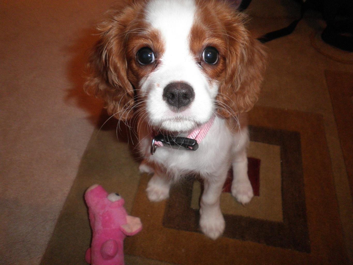 This is my 5 month old Cavalier King Charles Spaniel Nelly. She is the ...