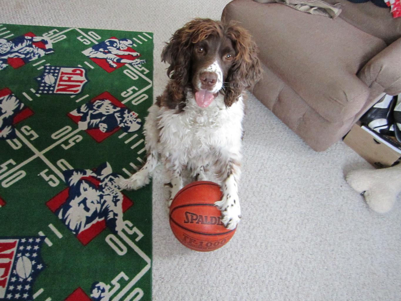 Skylark learned a new trick---how to dribble! Tags: English Springer Spaniel