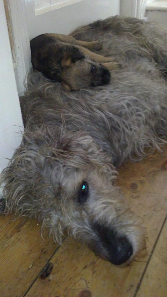 Irish Wolfhound And Border Terrier Dogcast Radio