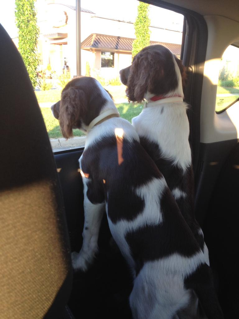 Our 10 week old puppies. Tags: Brother&sister English Springer Spaniel