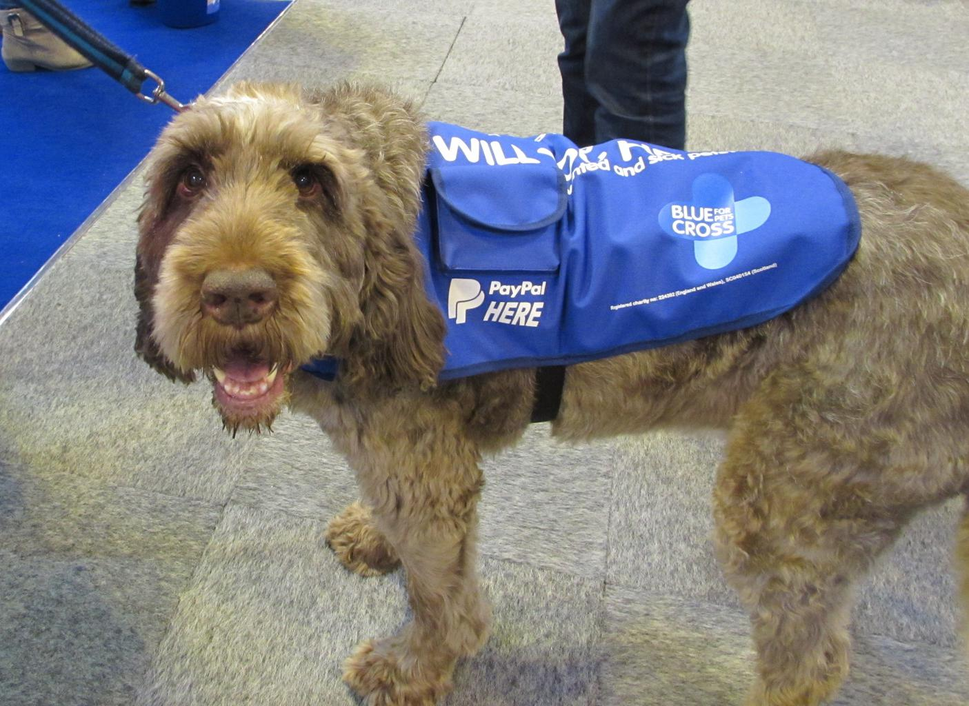 Italian Spinone Gracie raising money for The Blue Cross. Tags: charity fund raising Italian Spinone PayPal The Blue Cross