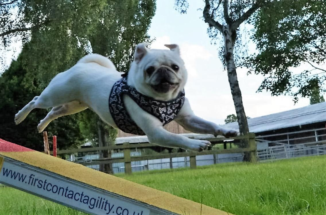 Susannah Chalmers' Pugs are athletic and lively. Tags: agility atheltic dog Pug