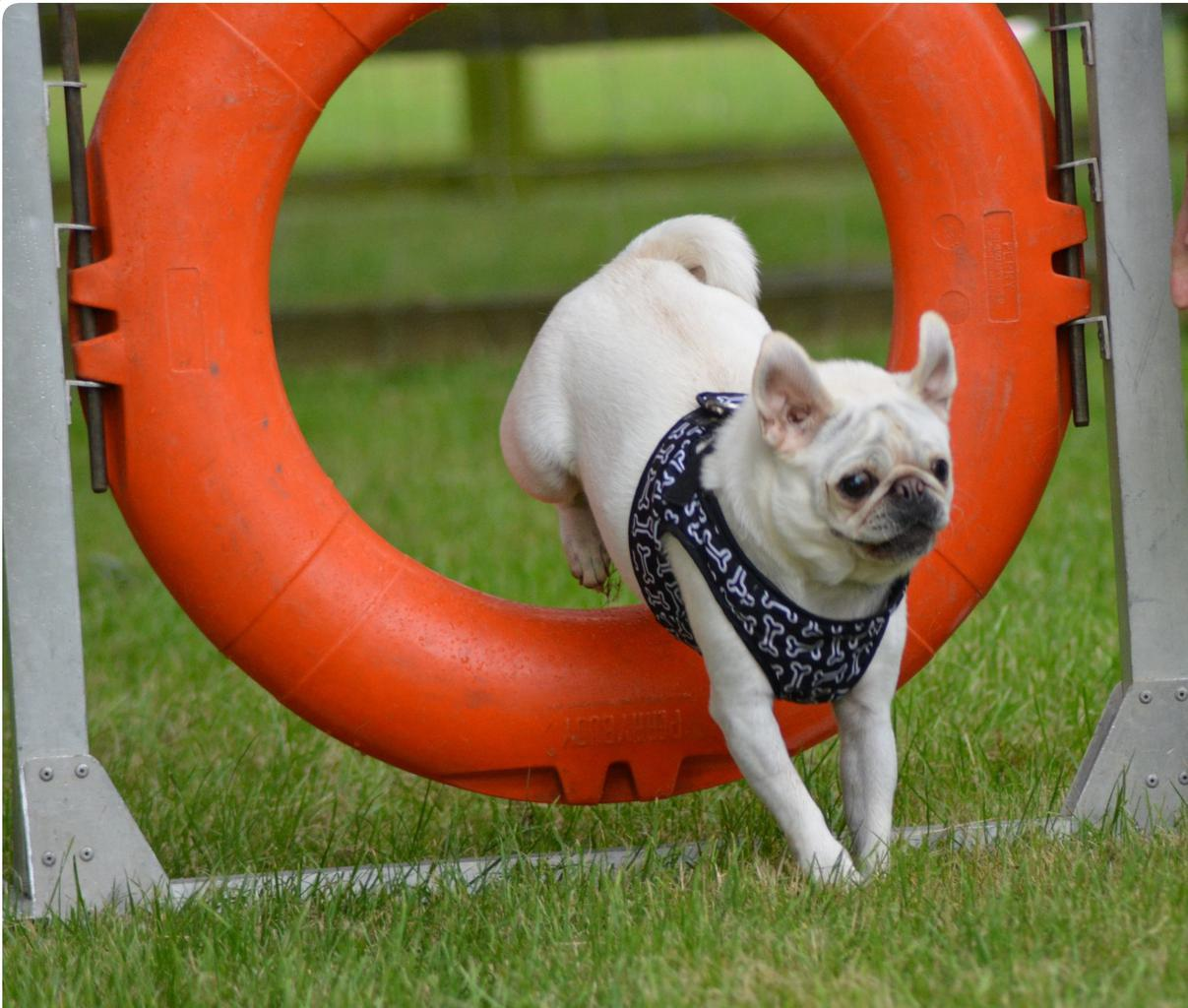 Staying fit and active is keeping Susannah Chalmers' Pugs happier and healthier. Tags: active dog agility dog fit dog Pug