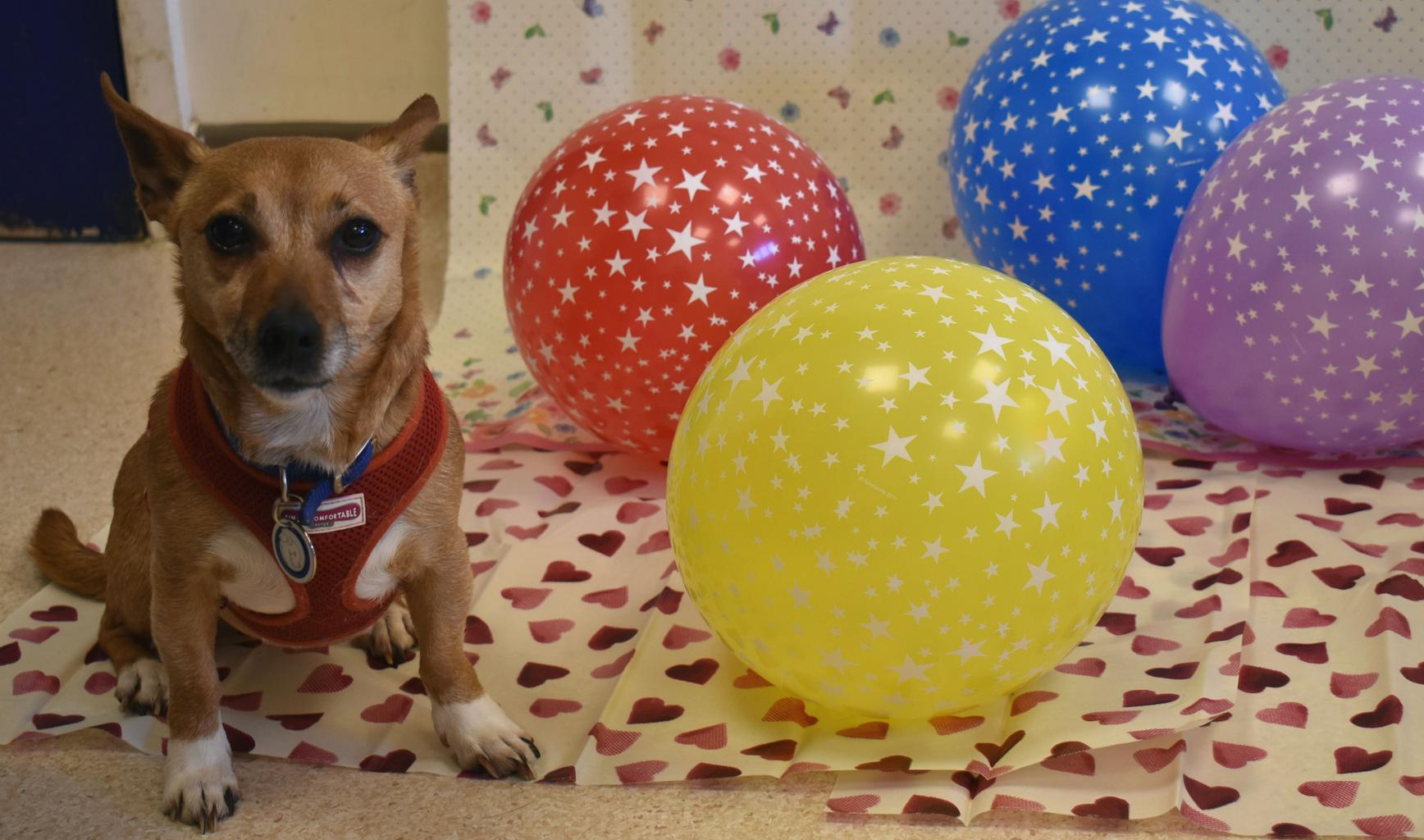 Honey celebrates two years at Brands Hatch. Tags: Battersea Dogs & Cats Home rescue dog