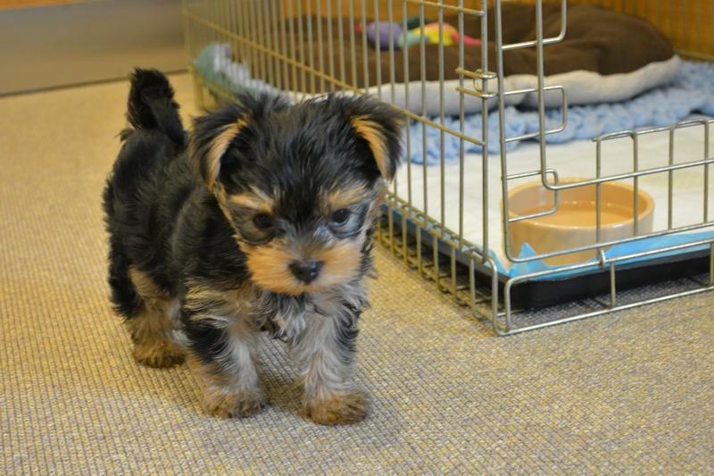 Tiny Bea was almost put to sleep by her breeder because she is blind. Tags: Battersea Dogs & Cats Home blind dog Yorkshire Terrier