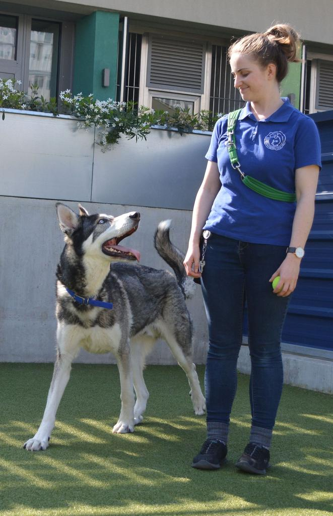 Loki is a Northern Inuit cross in Battersea Dogs & Cats Home's care. Tags: Battersea Dogs & Cats Home Northern Inuit