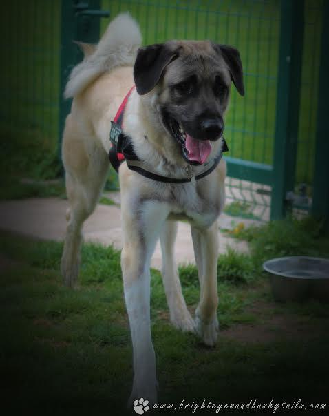 Finding a forever home for any dog can be a challenge – but some are more of a challenge than others, through no fault of their own. One such dog is Anatolian Shepherd, Bam Bam. Already a very large dog at only a year old, charming Bam Bam is still growing, and needs special home with lots of love – and lots of space! Tags: Anatolian Shepherd Dog Big Dog giant dog large dog rescue dog RSPCA sheffield