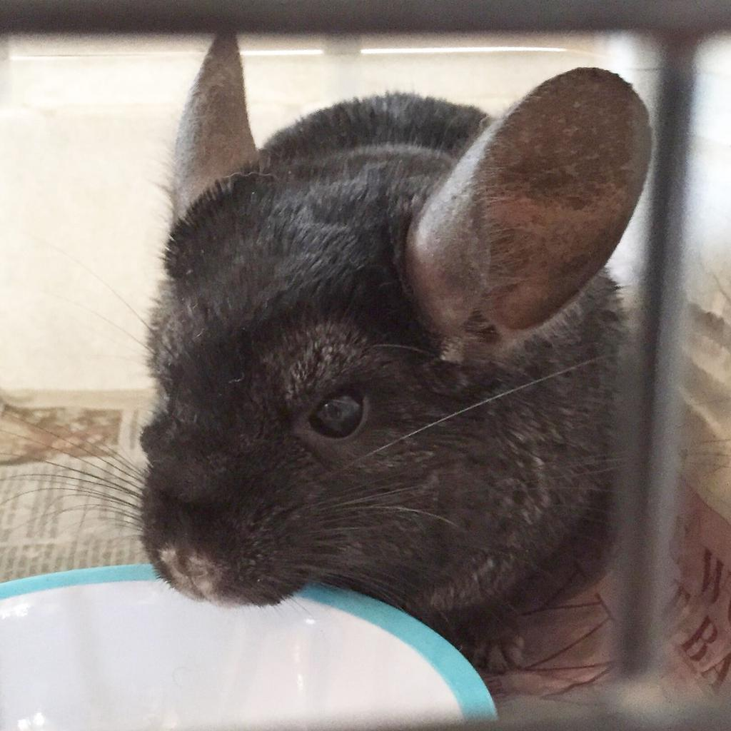 Charles the chinchilla. Tags: Battersea Dogs & Cats Home cat chinchilla dog