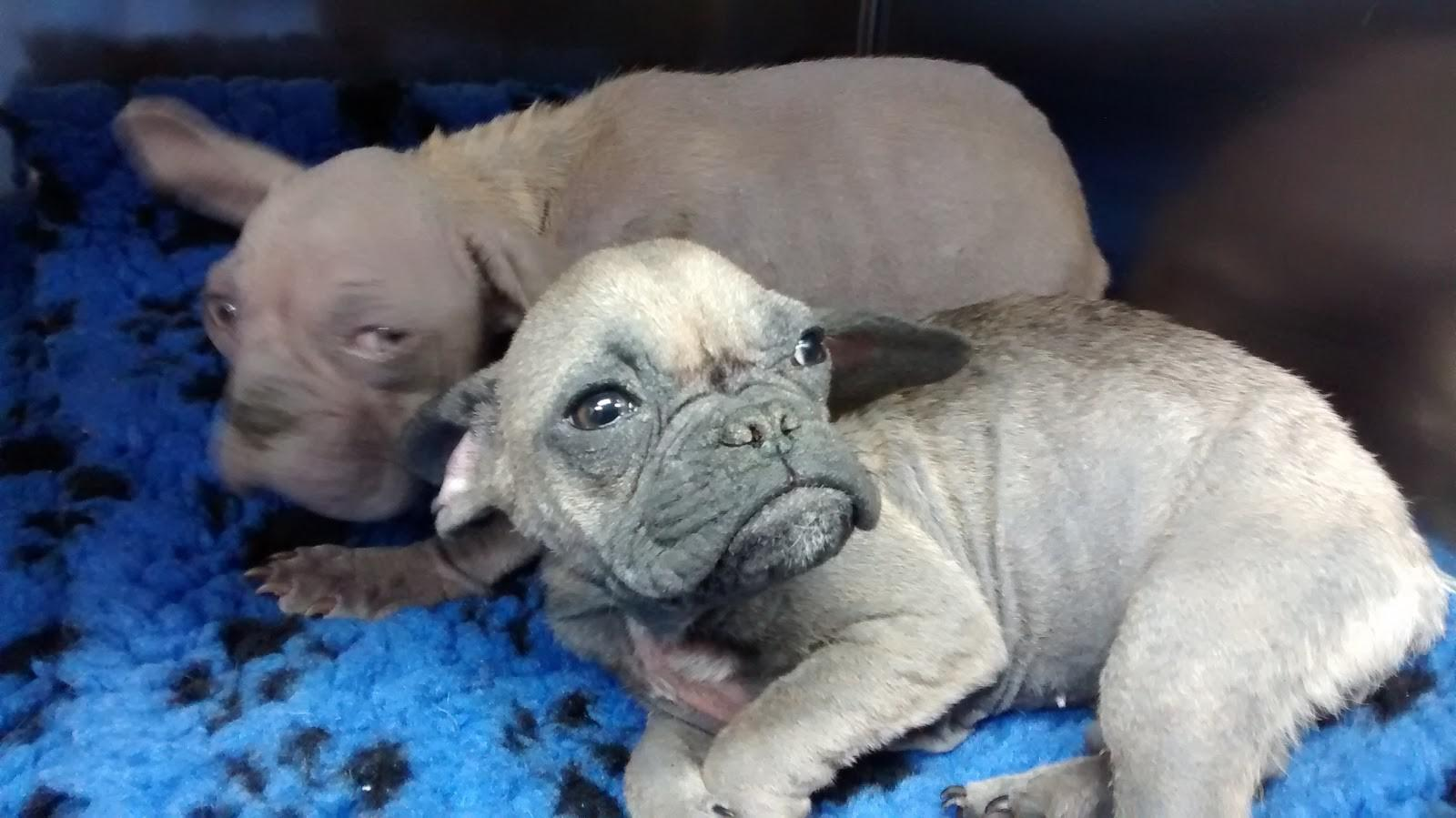 Two 'beautifully ugly' French bulldog pups discovered dumped in a cardboard box are turning heads for all the right reasons now. Tags: dog adoption French Bulldog puppy rescue dog RSPCA ugly