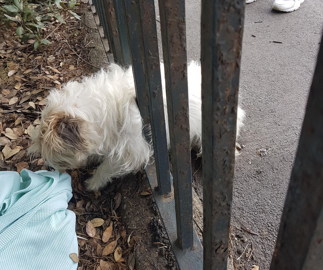 A dog on the run after escaping from her home ended up in a bit of a tight spot - wedged between fence railings! RSPCA officer called in to help with bar-king mad rescue! Tags: dog dog stuck in fence escaped dog Jack  Russell Terrier RSPCA
