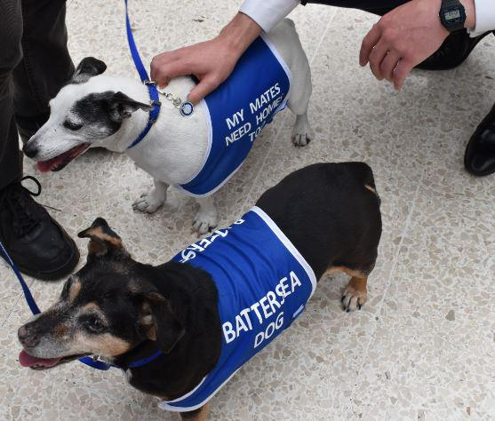 Battersea Dogs & Cats Home has today sent two adorable Jack Russell Terriers on a mission: to help make commuters at London Waterloo smile during the August engineering works. Tags: Battersea Dogs & Cats Home dog London Waterloo