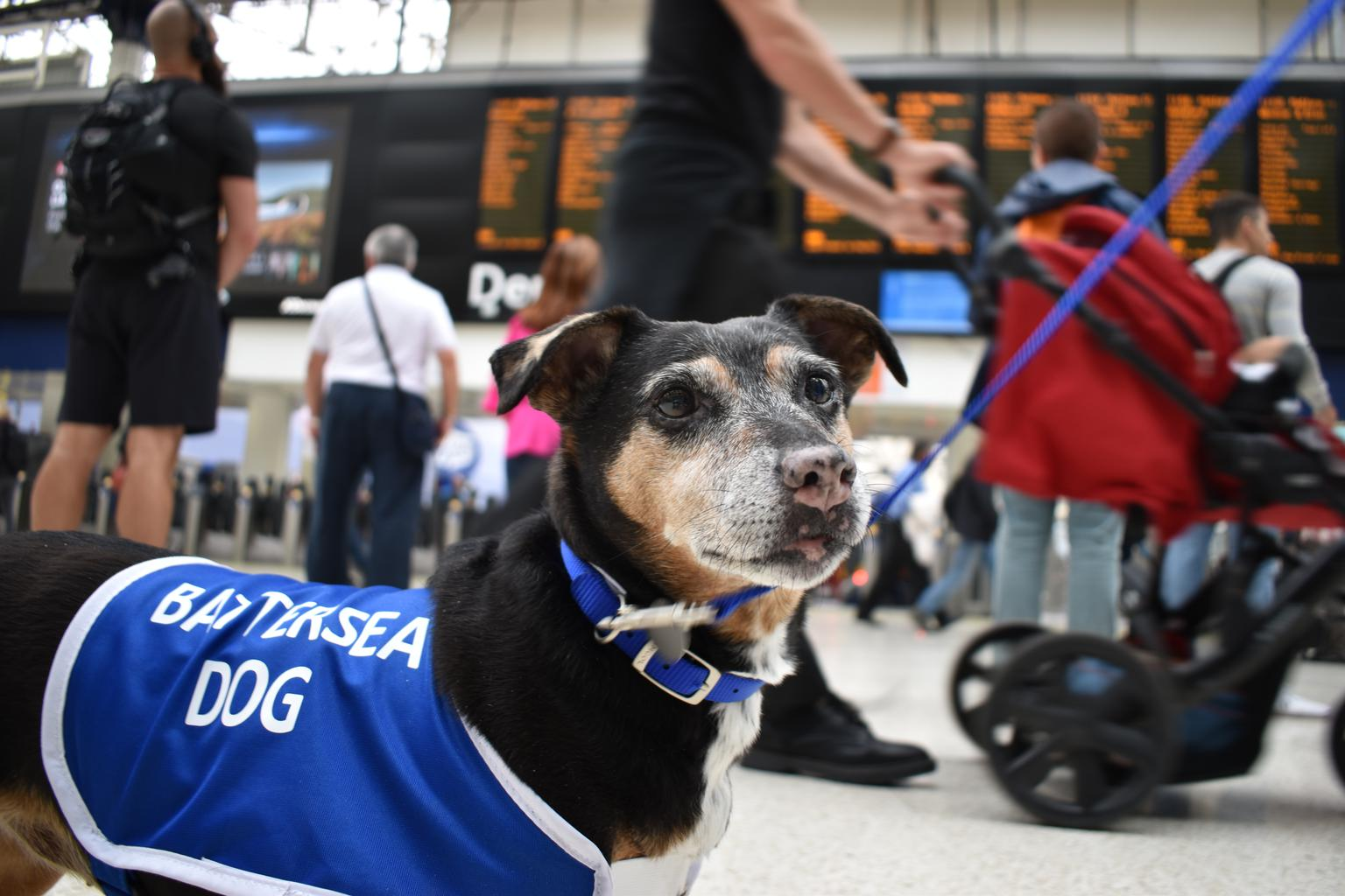 Battersea Dogs & Cats Home has today sent two adorable Jack Russell Terriers on a mission: to help make commuters at London Waterloo smile during the August engineering works. Tags: Battersea Dogs & Cats Home Jack  Russell Terrier London terriers Waterloo