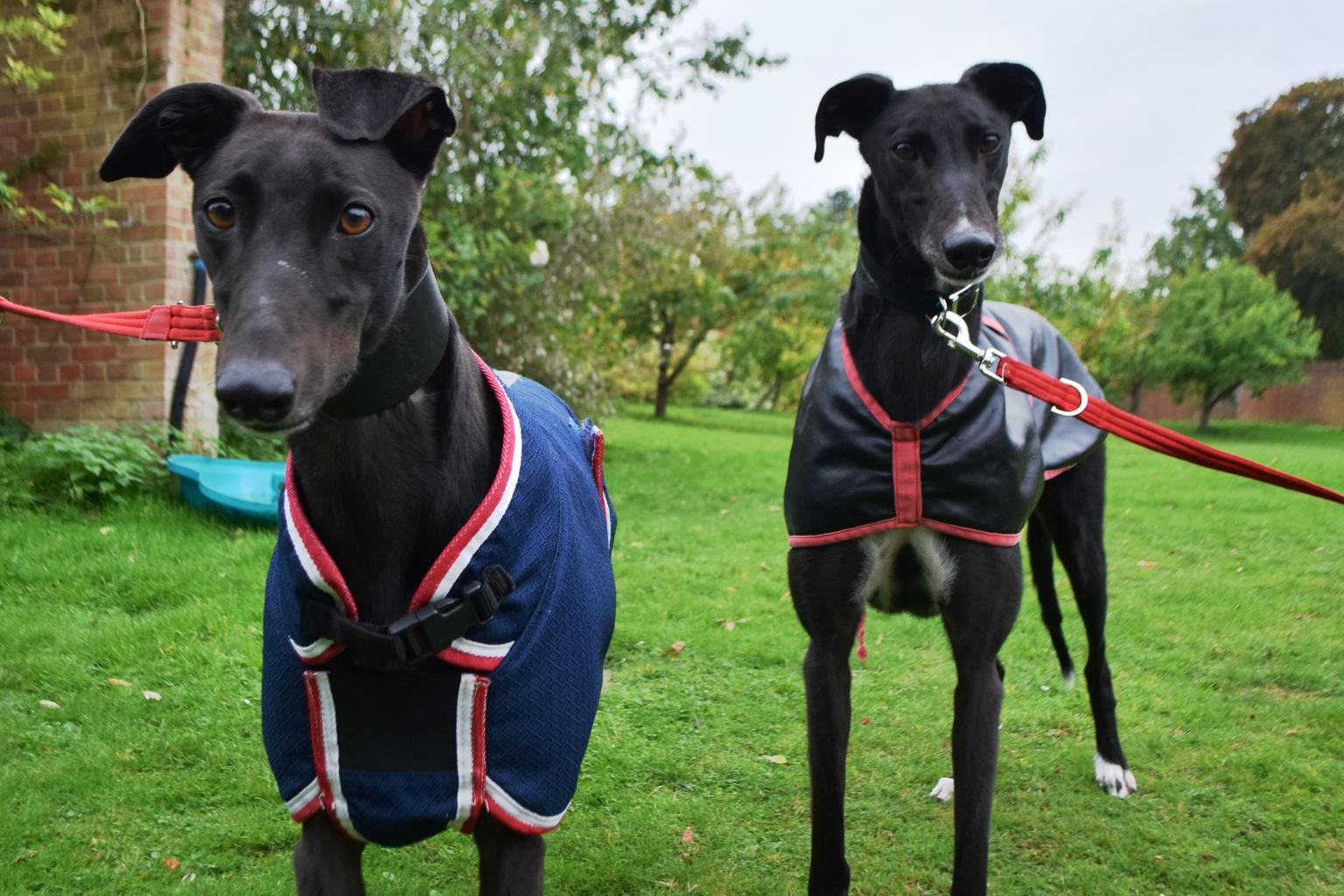 Smiley Serena and enthusiastic Eddie are looking for a home together, with owners who have some understanding of ex-racing Greyhounds and their needs. Tags: Battersea Dogs & Cats Home dog Greyhound rescuie dog