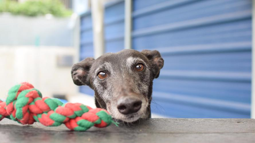 Seven-year-old Nellie has been at Battersea for 105 days, and is looking for a family to call her own. Tags: Battersea Dogs & Cats Home dog Greyhound rescue dogs