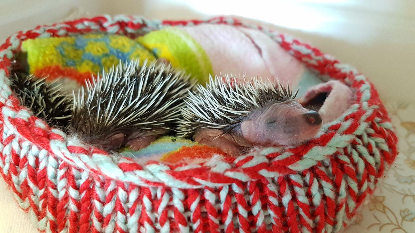 The RSPCA is calling on knitters to put their skills to use this Wool Week by whipping up leg warmers for sick kittens, snuggly nests for baby hedgehogs and jumpers for chilly dogs. Tags: hedgehog knitting RSPCA