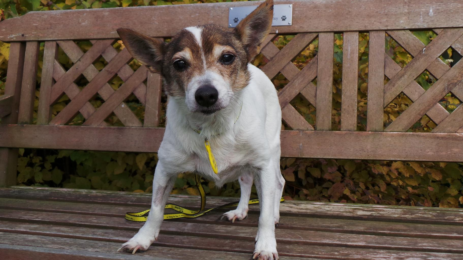 Bobby is the oldest homeless dog at Dogs Trust. Tags: Dogs Trust Jack  Russell Terrier oldest dog rescue dog