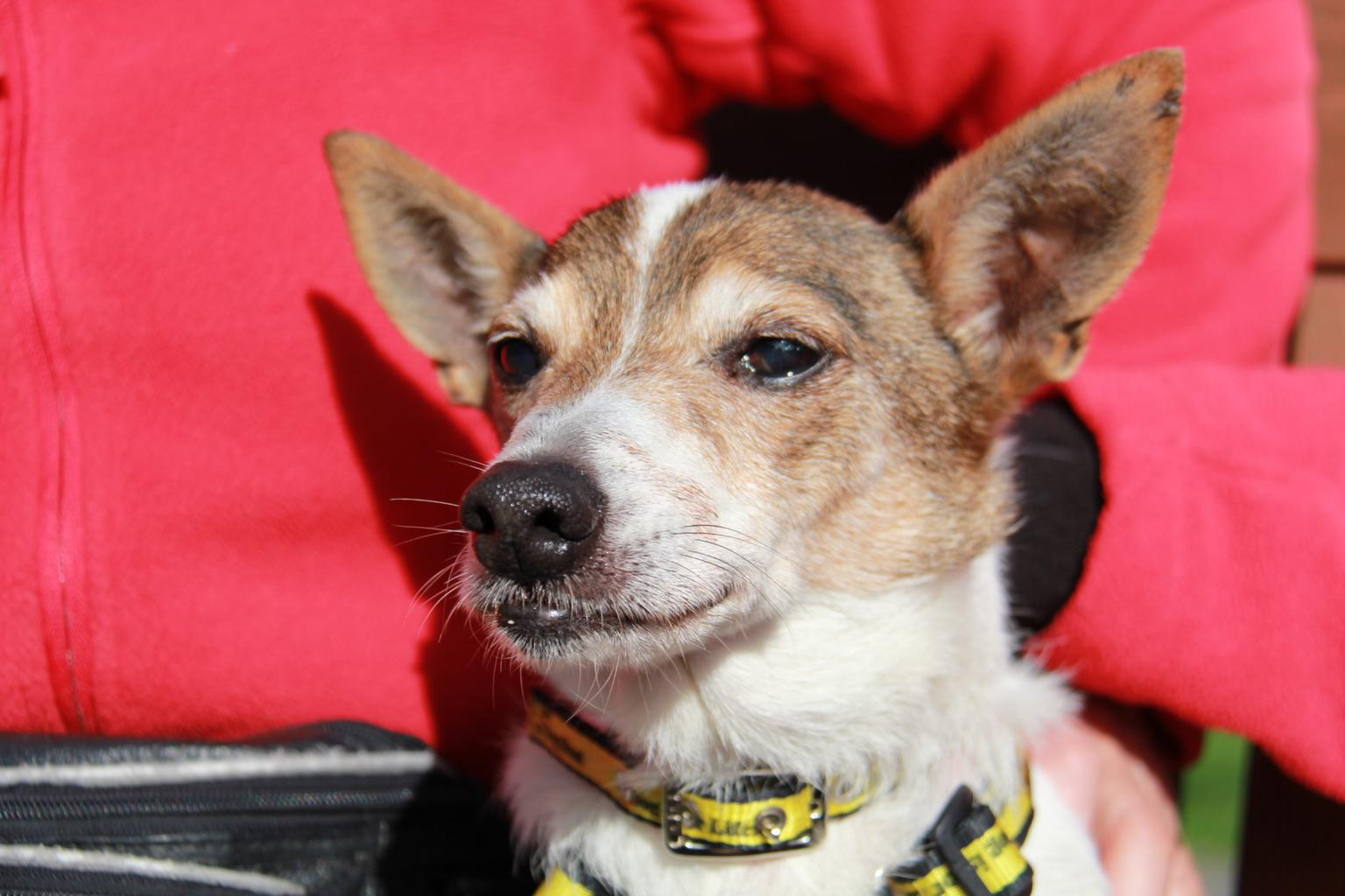 17 year old Bobby has his sights set on a new home. Tags: Dogs Trust Jack  Russell Terrier oldest dog rescue dog