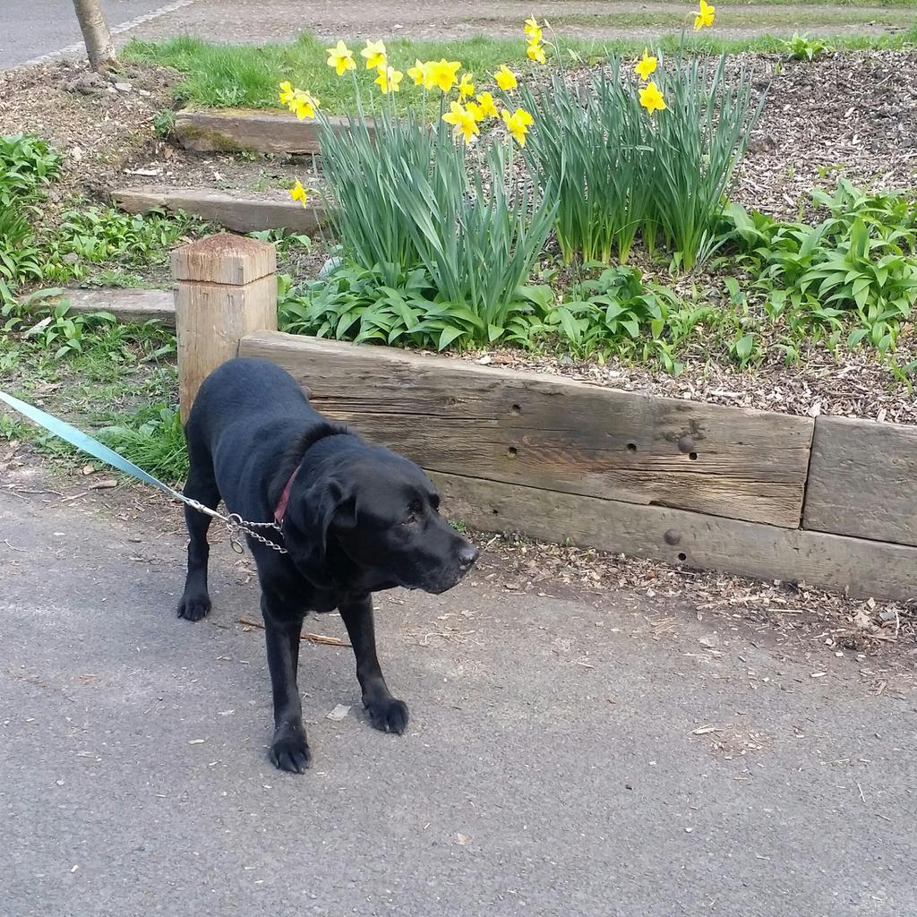 Despite being nearly 15 years old and having arthritis, Buddy enjoys a day out. Tags: canine arthritis day out dog Labrador Retriever senior dog